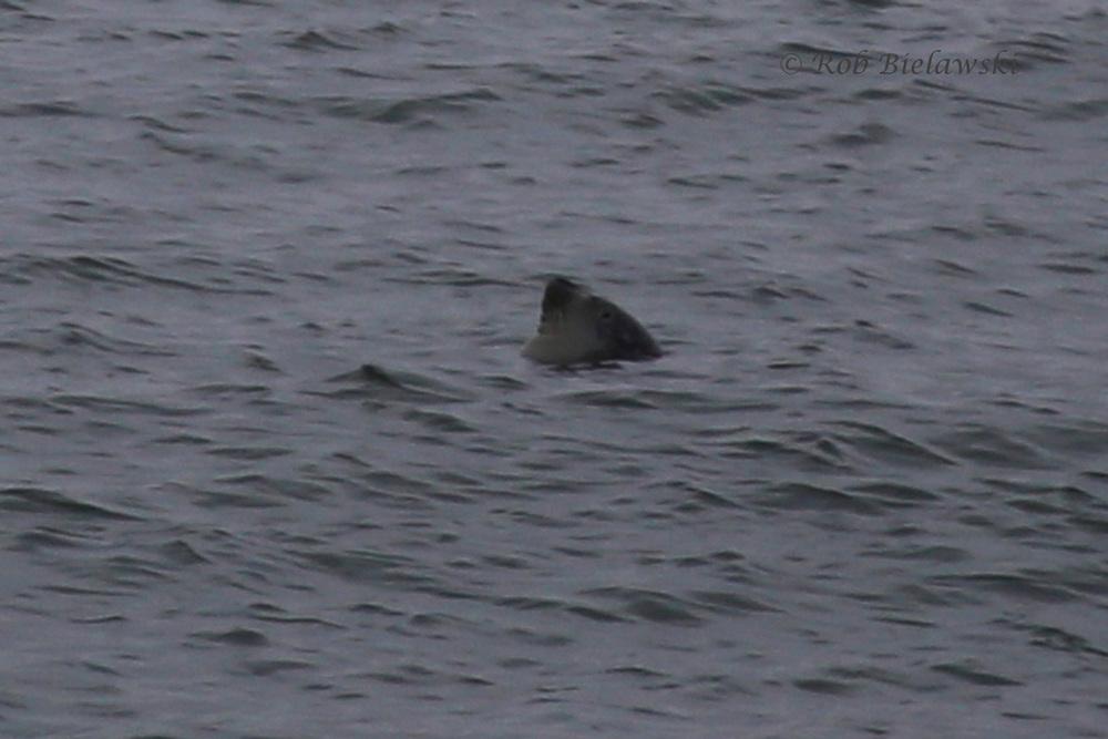 Harbor Seal!