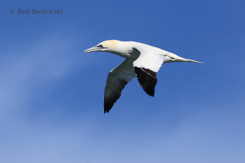 Northern Gannet flies past the Rudee Flipper on our whale watching tour Sunday!