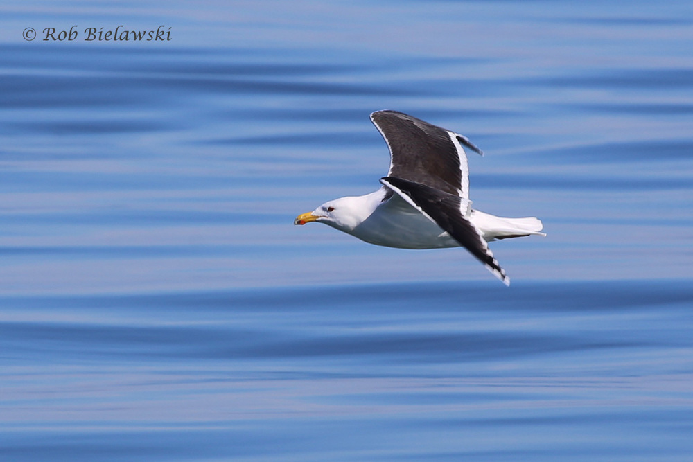 A Great Black-backed Gull and the beautiful waters of the Atlantic Ocean seen Sunday!