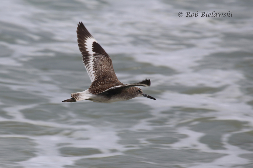 A beautiful Willet showing off it's black & white wing stripes at Back Bay!