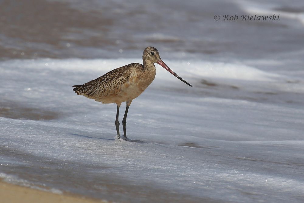 The Marbled Godwit seen along the beach at Back Bay NWR, a new county lifer for me!