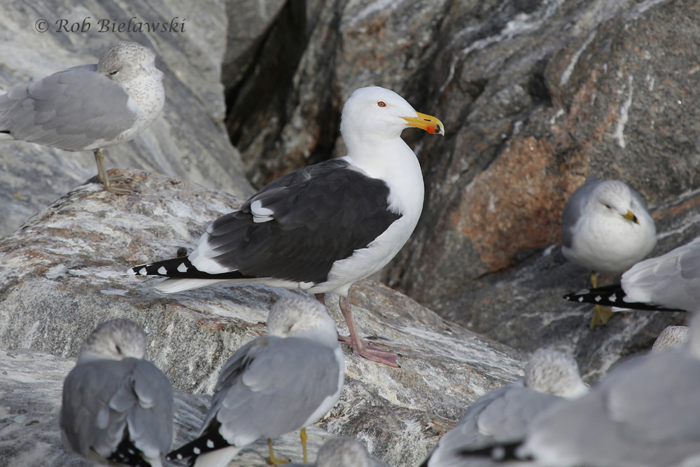Great Black-backed Gull & Ring-billed Gulls