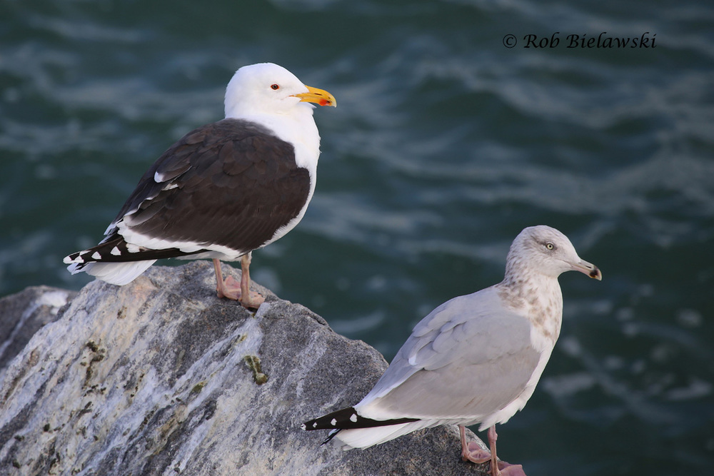 Great Black-backed Gull & Herring Gull