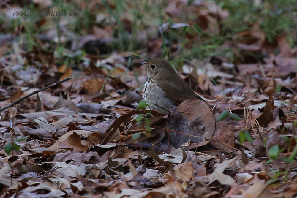 The solitary Hermit Thrush, seen at Falls Lake State Recreation Area near the Raleigh-Durham metro area of North Carolina on Saturday.