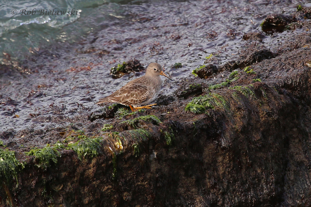 My favorite wintering shorebird, a Purple Sandpiper, seen on the rocky man-made coastline of South Thimble Island.