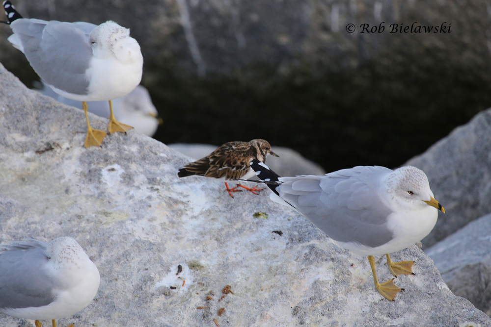 Ruddy Turnstone & Ring-billed Gulls