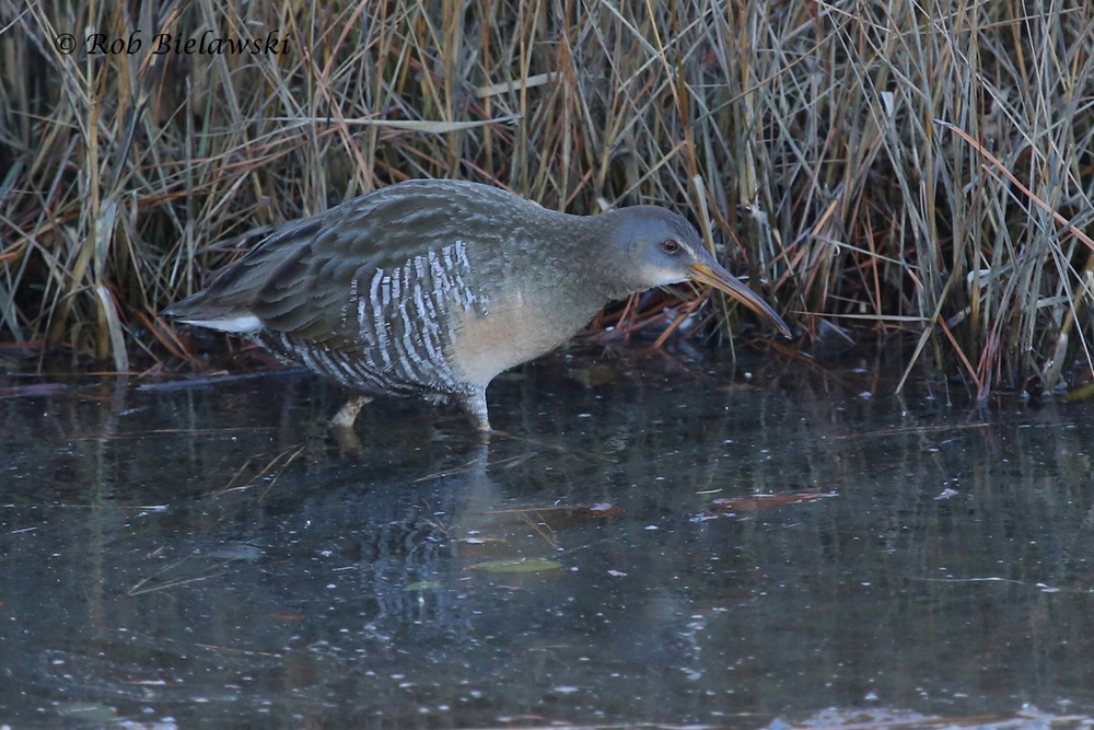 Clapper Rail seen at Pleasure House Point Natural Area during an evening outing!