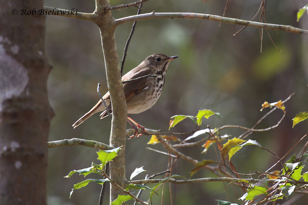 The very secretive Hermit Thrush, sighted along the Long Creek Trail at First Landing State Park.
