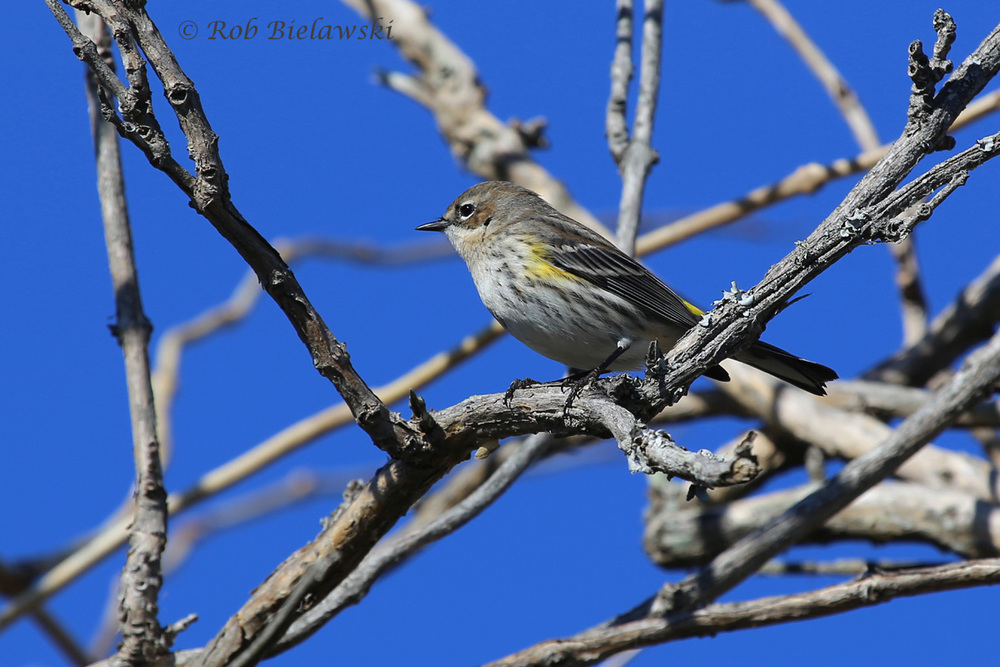 Our most common winter warbler, the Yellow-rumped!