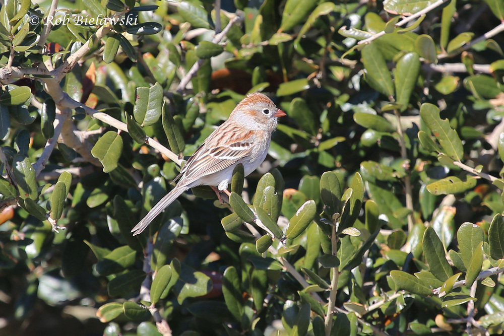 First Field Sparrow of the year! Seen on the same date and at the exact same location as my first ones last year!