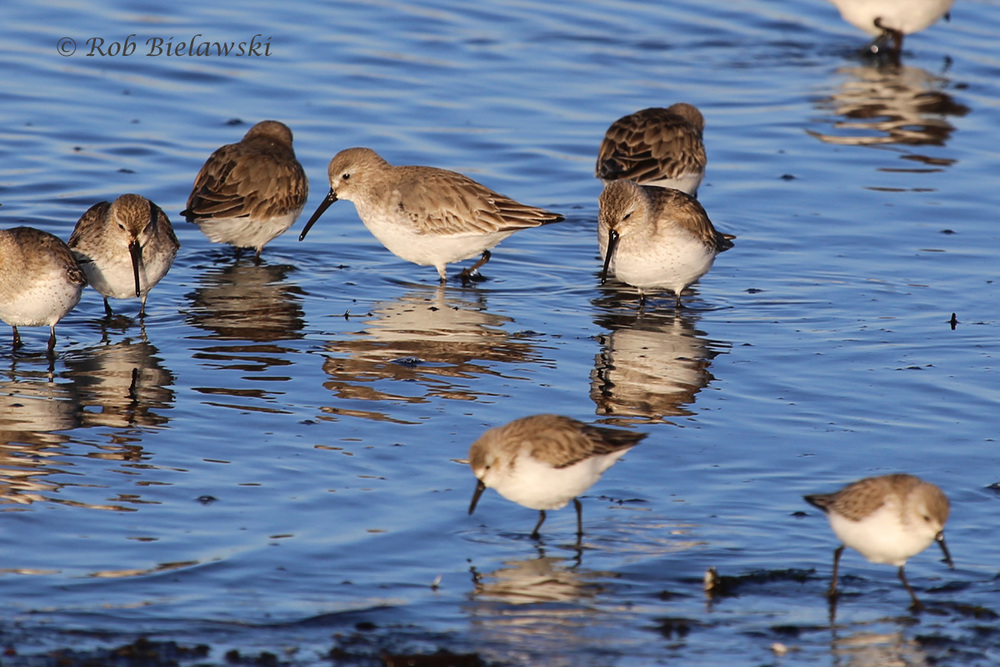 Dunlins & Western Sandpipers