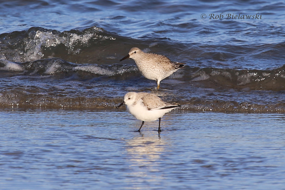Red Knot & Sanderling