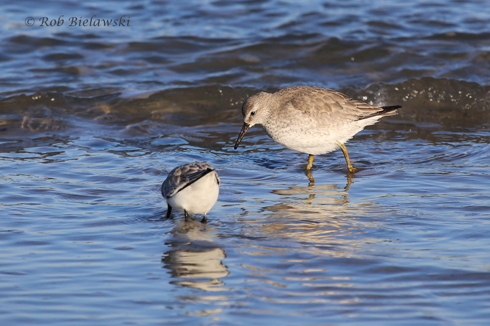 Sanderling & Red Knot