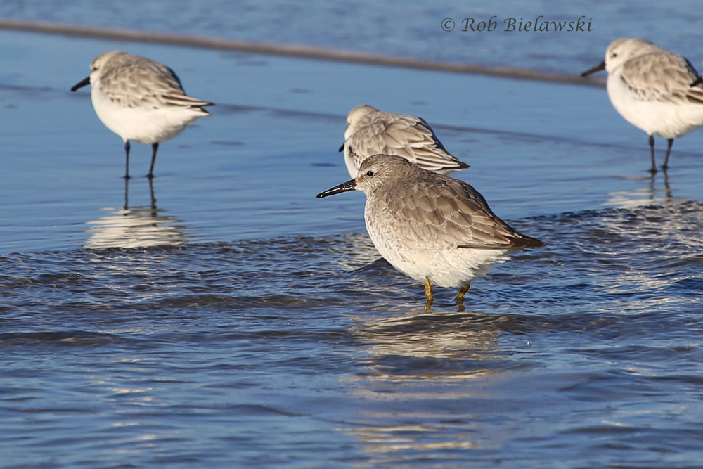 Sanderlings & Red Knot