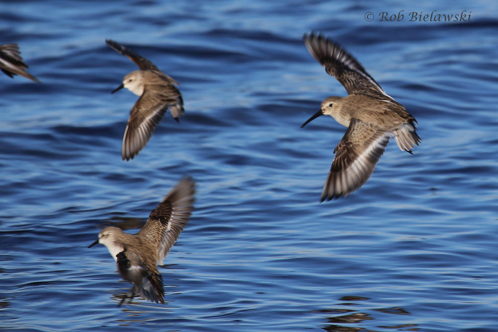 Western Sandpipers & Dunlin