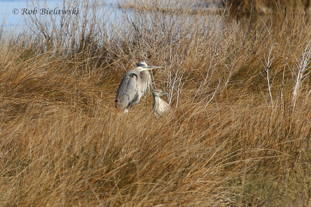 Great Blue Heron & Black-crowned Night-Heron