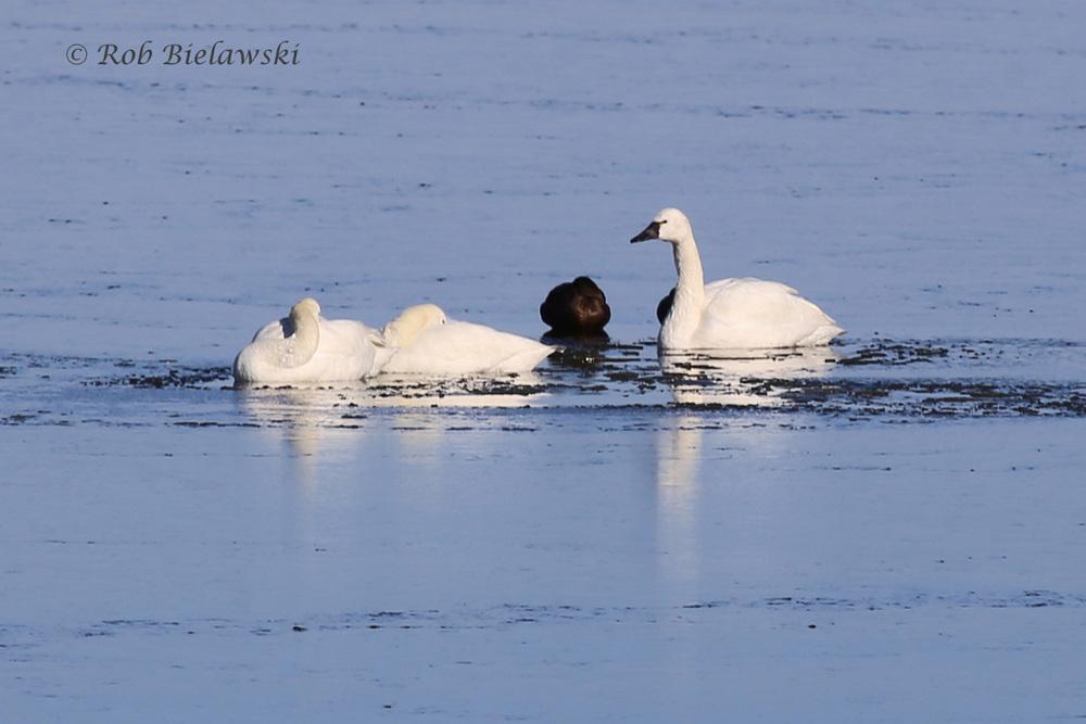 Tundra Swans & American Black Duck