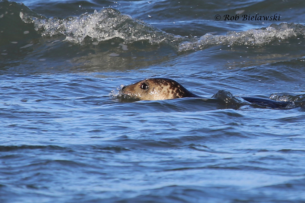 The first Harbor Seal I've ever seen in North Carolina, where Oregon Inlet opens up to the Atlantic Ocean!