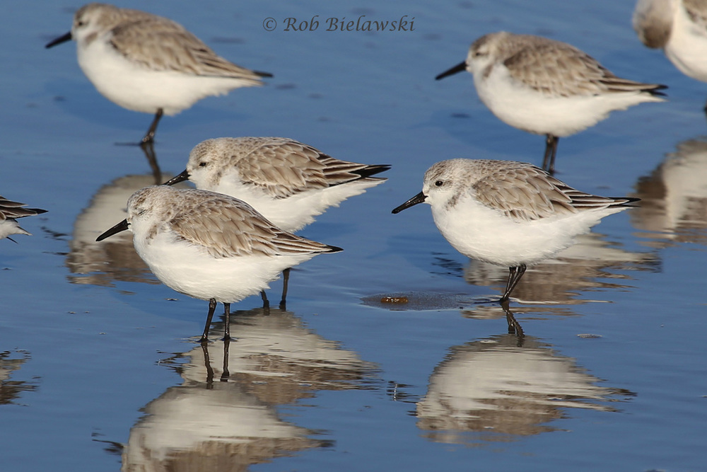 A few of the many Sanderlings seen along the beaches of the Outer Banks!