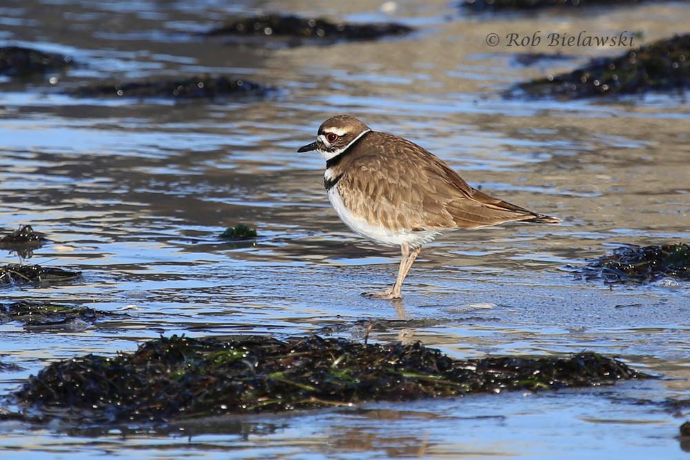 A Killdeer, one of about 10 species of shorebirds seen at Oregon Inlet on Saturday!