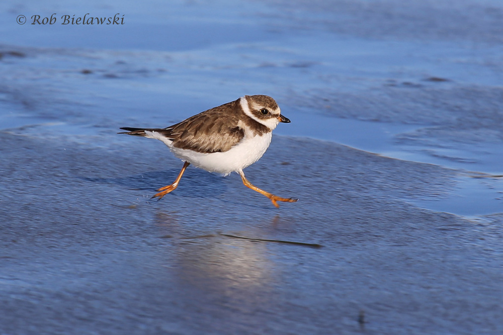 Running across the wet beach sand, this is a Semipalmated Plover!