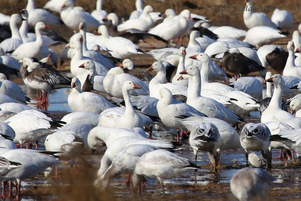 Just a fraction of the main flock of Snow Geese that was seen at Pea Island National Wildlife Refuge!