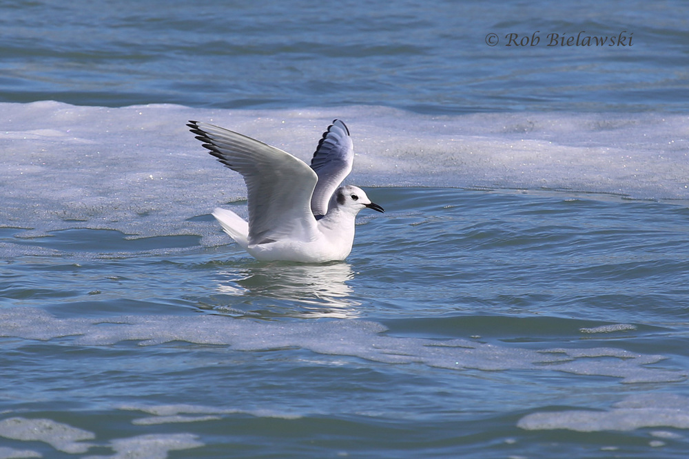 Just one of the many, many Bonaparte's Gulls we saw along the beachfront of Pea Island National Wildlife Refuge!