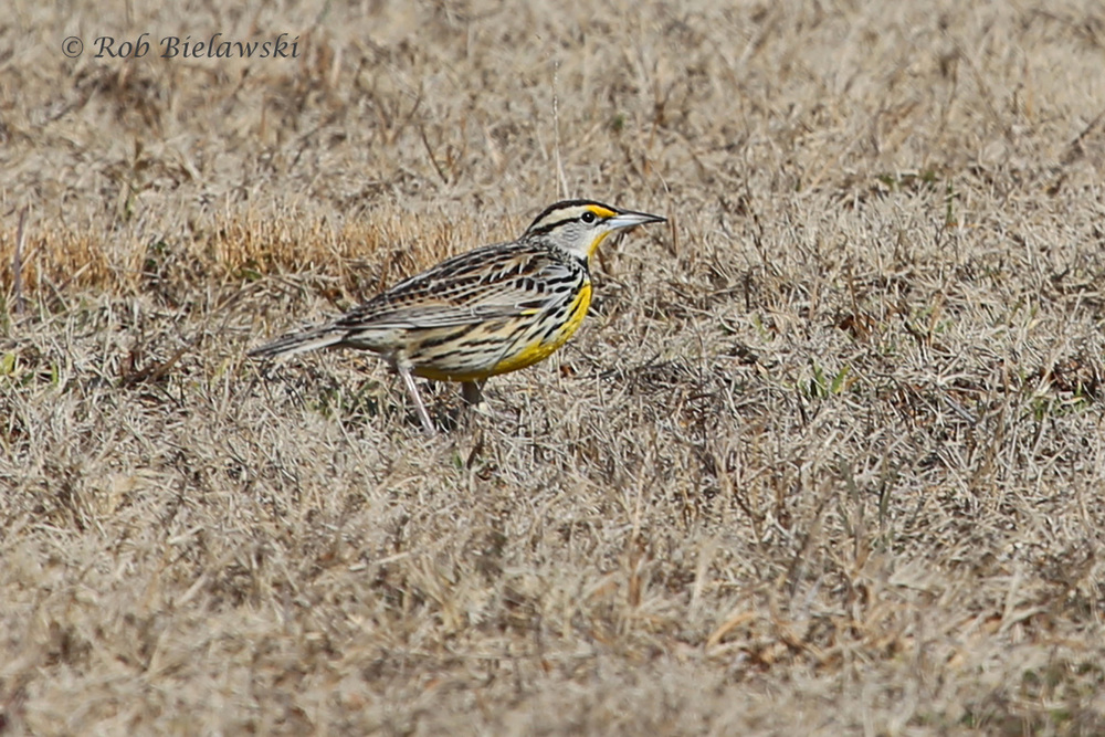 Drab from above, but gorgeous from the side, this is an Eastern Meadowlark, seen at Bodie Island Lighthouse!