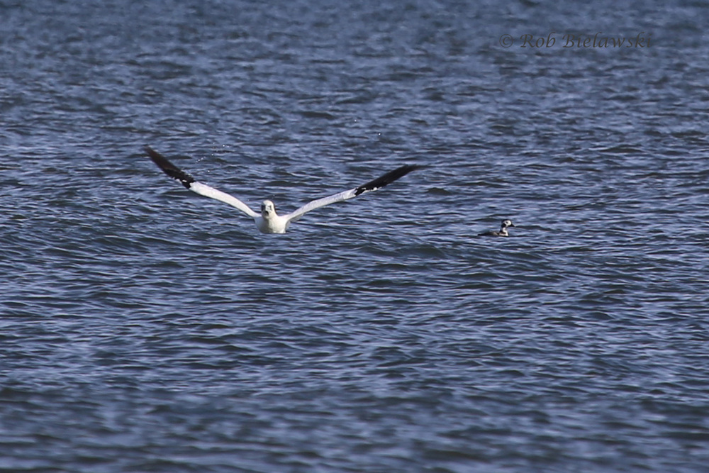 Northern Gannet & Long-tailed Duck