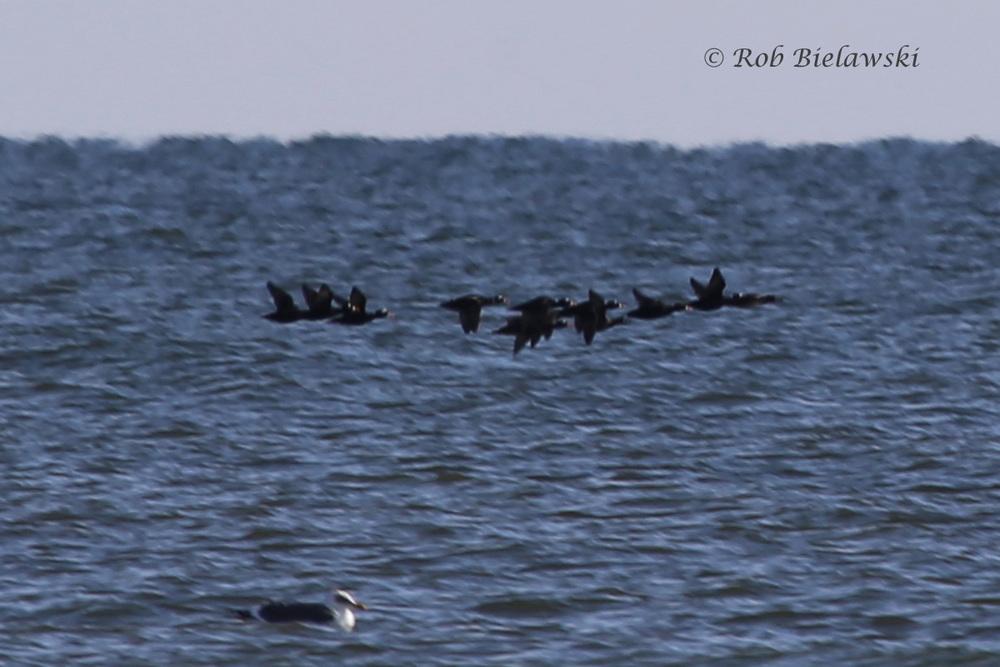 Surf Scoters & Lesser Black-backed Gull