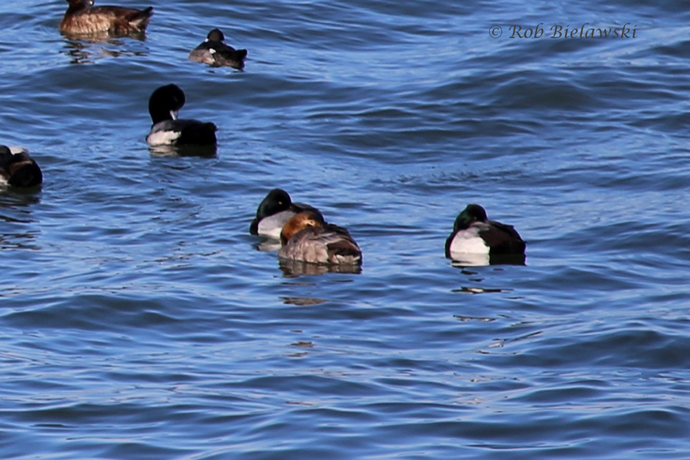 Canvasback & Lesser Scaup
