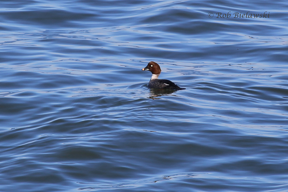 Female Common Goldeneye seen off the first island of the Chesapeake Bay Bridge-Tunnel on Friday evening!