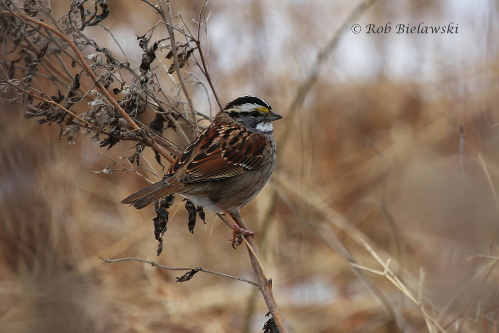 A striking White-throated Sparrow seen at Back Bay near the visitor's center parking area!