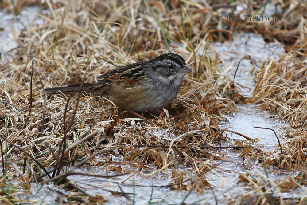 A Swamp Sparrow feeding between the remaining pockets of snow on Saturday morning!