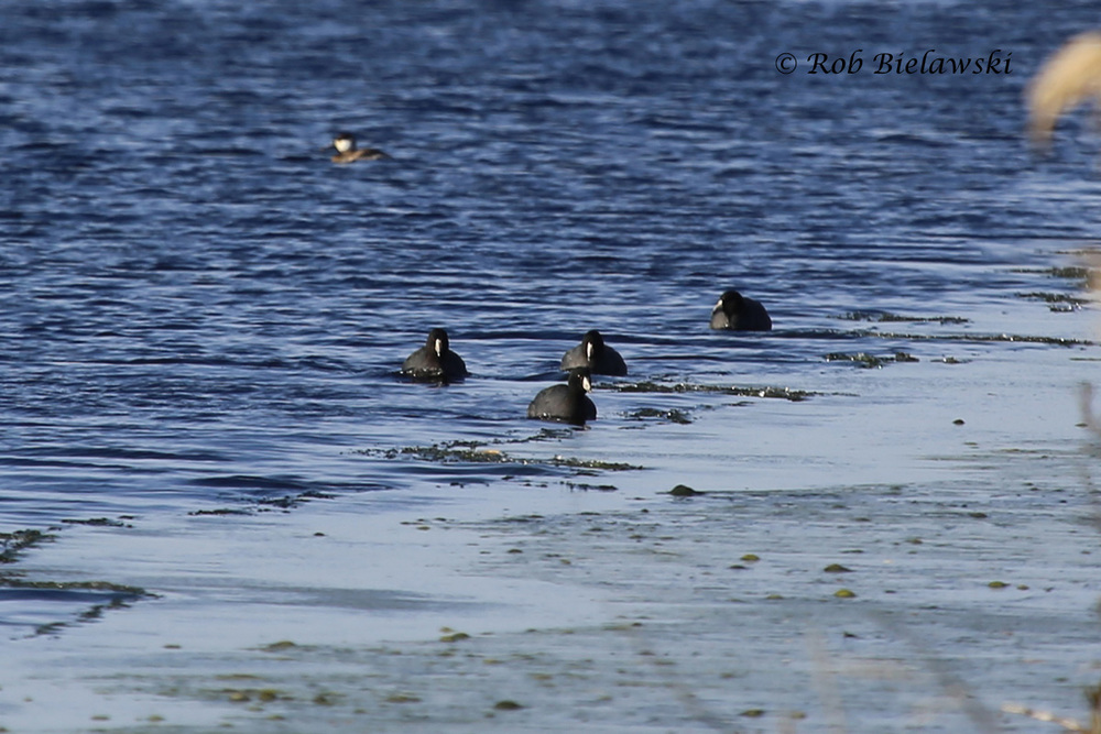 American Coots & Ruddy Duck