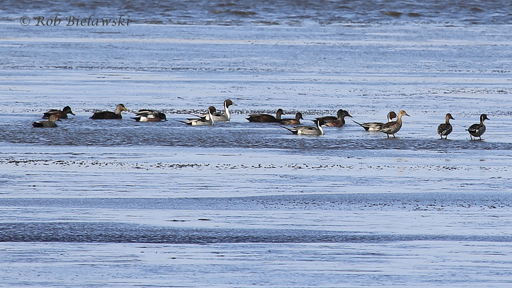 American Black Ducks, Gadwalls, American Wigeons & Northern Pintails