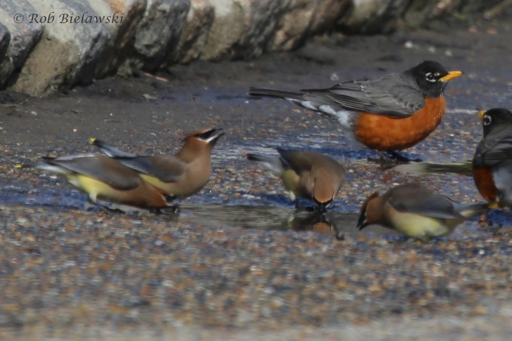 Cedar Waxwings & American Robins