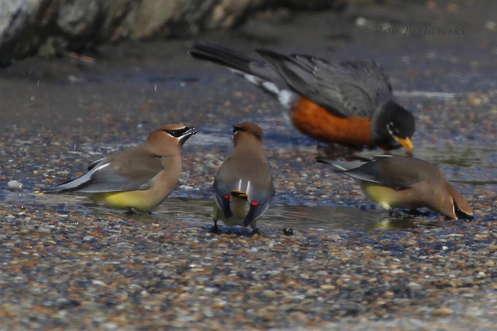 Cedar Waxwings & American Robin