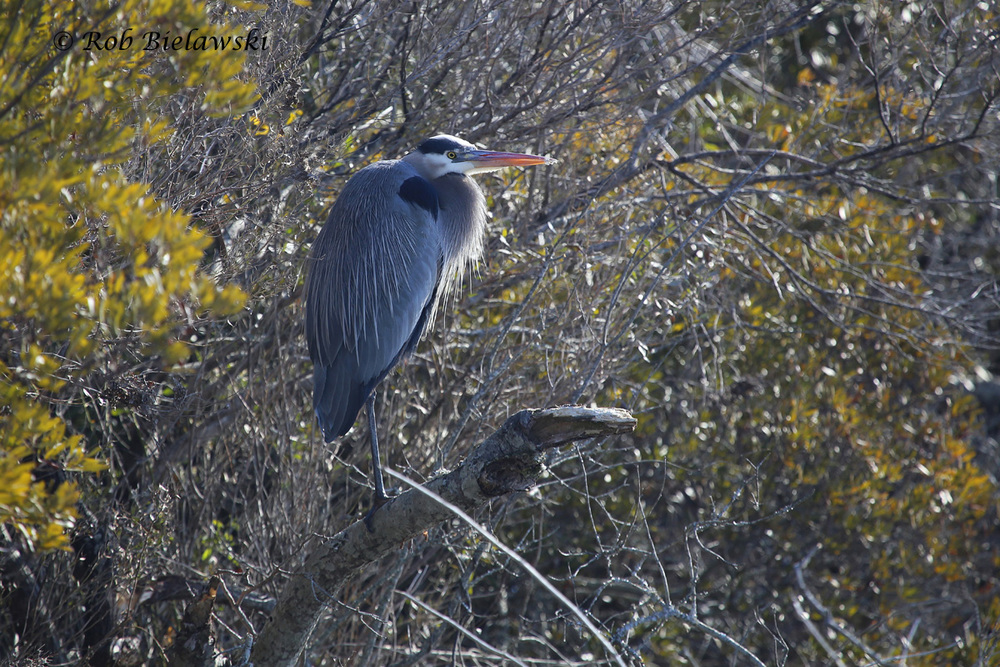 My very faithful Great Blue Heron at Back Bay NWR that always shows up for photographs, even when the wind has all the other birds in hiding.