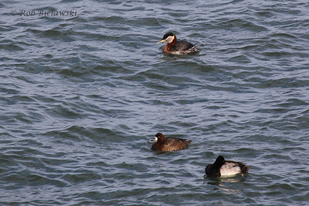 Red-necked Grebe & Lesser Scaup