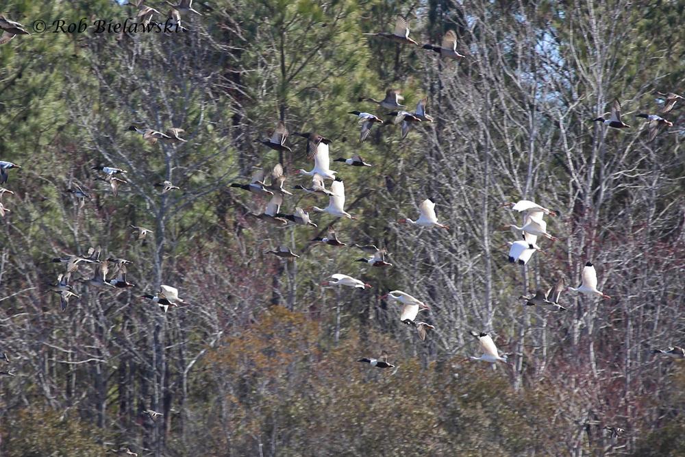 White Ibis & Waterfowl