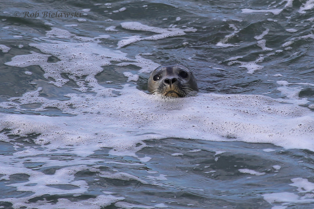 Caught this Harbor Seal looking back at me out of the sea foam at the Chesapeake Bay Bridge-Tunnel!