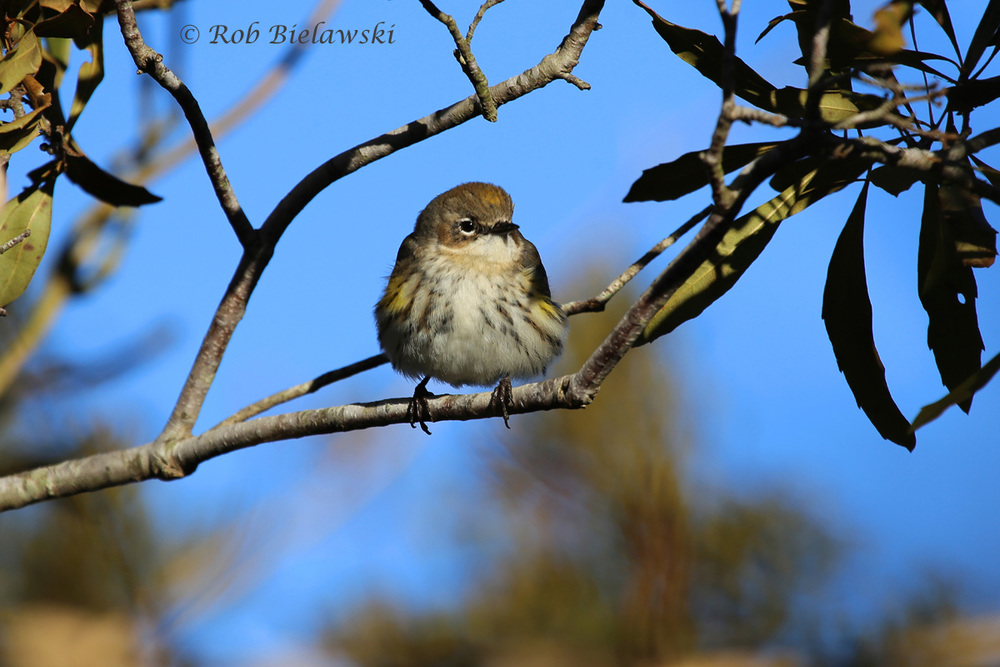 The most numerous of our 5 species of winter warblers, a Yellow-rumped Warbler, posing for a shot!