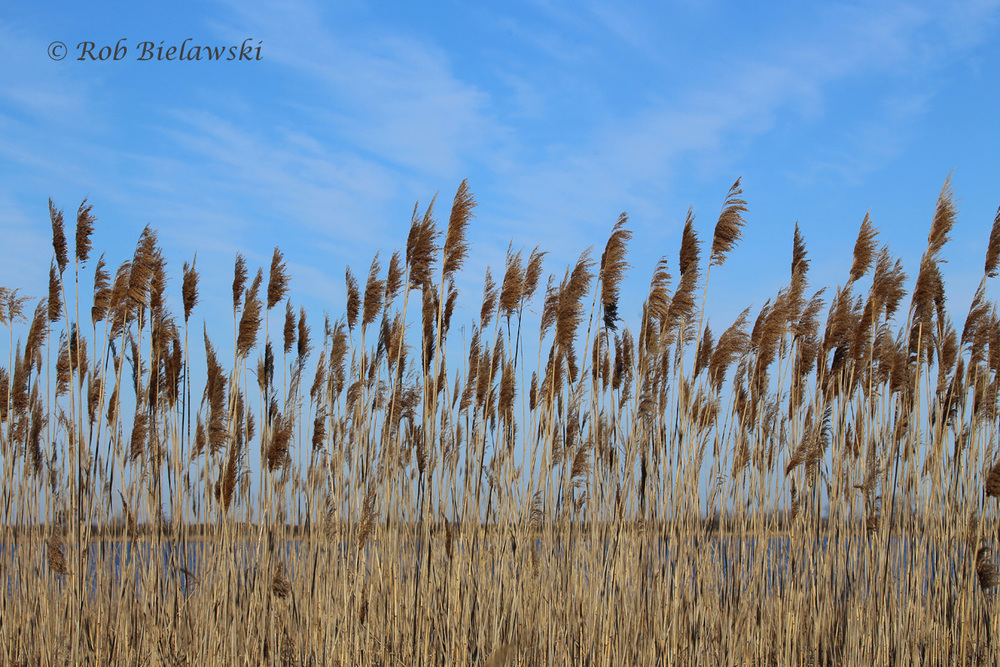 The skies over Back Bay National Wildlife Refuge's cattail marsh along the Bay Trail!