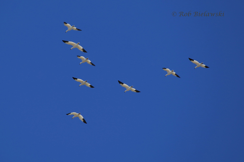 One of the many, many groups of Snow Geese seen at Back Bay NWR heading northward!