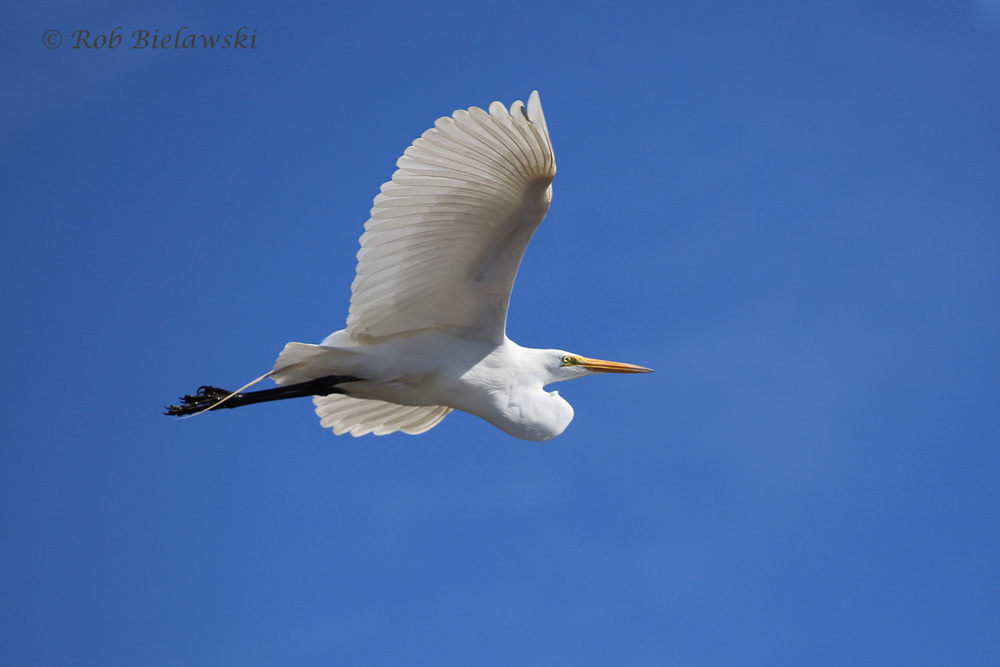 In continuing the theme of white plumaged birds, this one is a Great Egret, seen against the beautiful blue skies of Sunday afternoon at Princess Anne WMA!