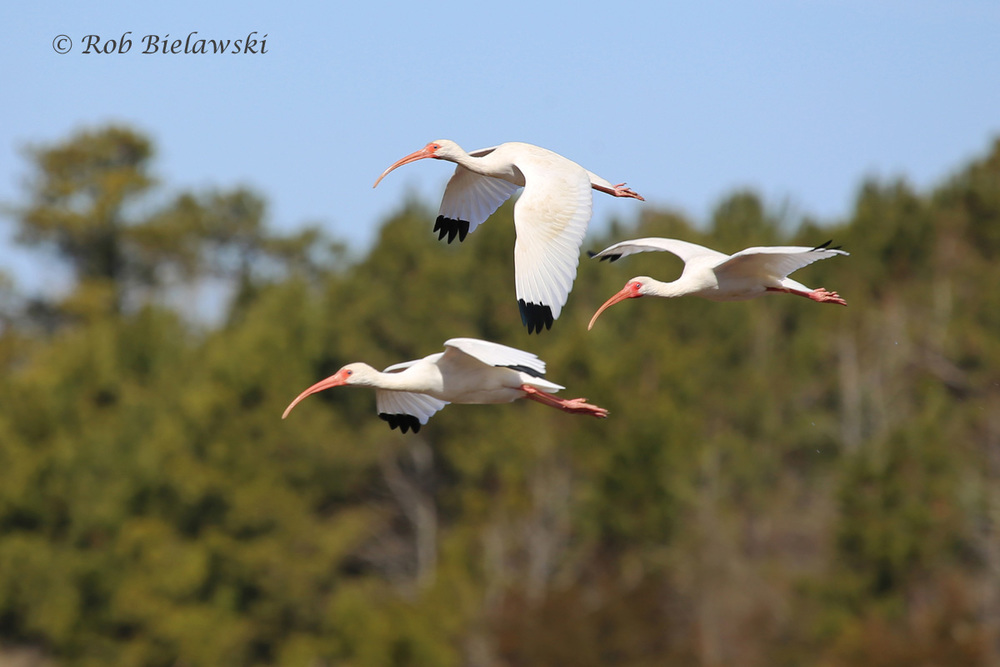 Three more White Ibises flew in to join the flock!