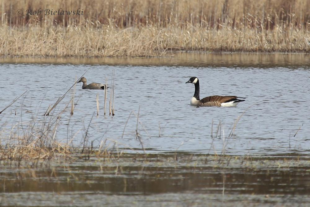 Gadwall & Canada Goose