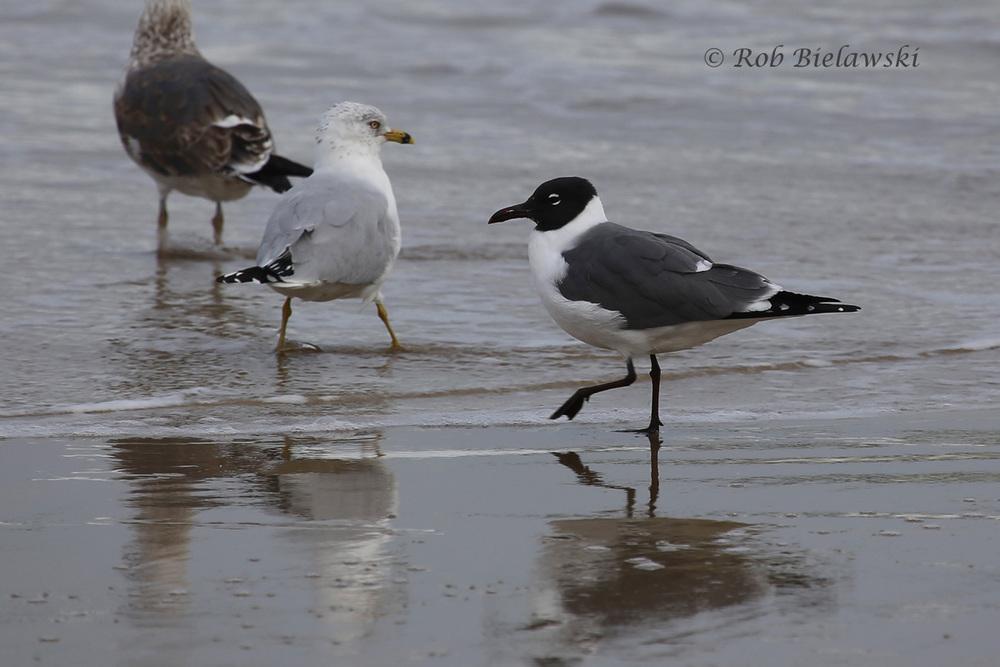 Lesser Black-backed Gull, Ring-billed Gull & Laughing Gull