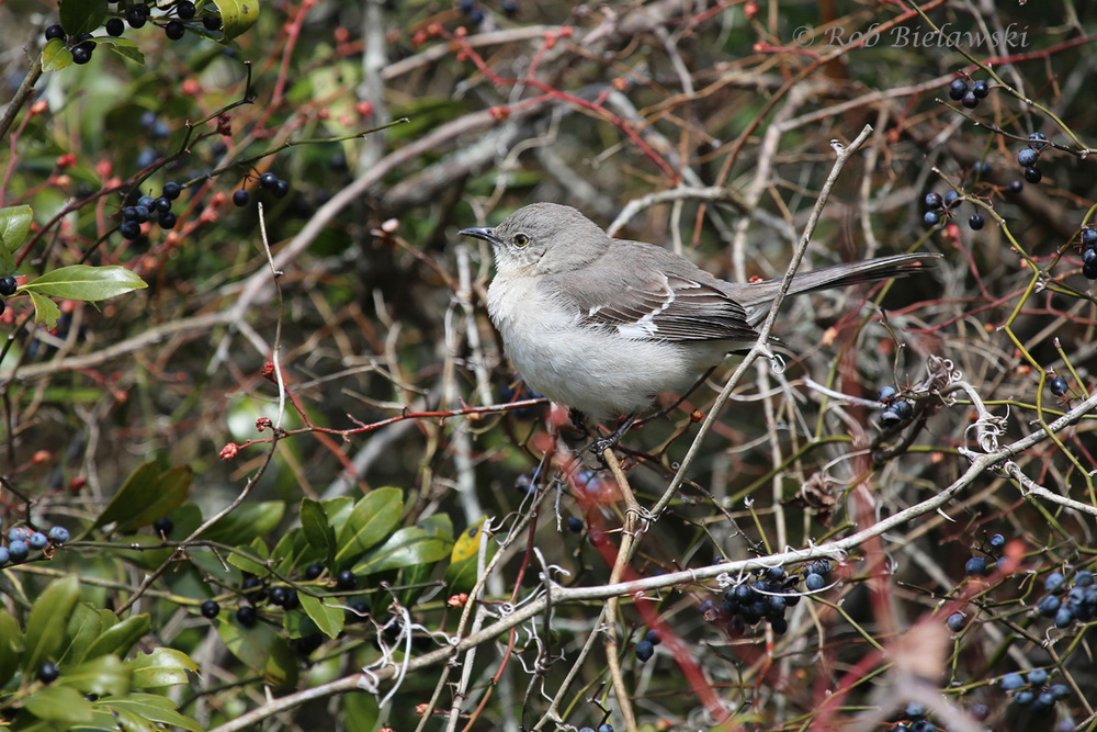 Even when most of the birds are in hiding on cloudy days, this loyal Northern Mockingbird always makes a quick appearance!